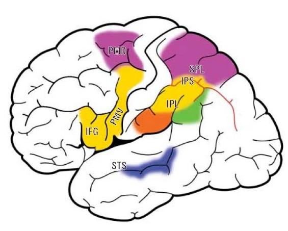 Le aree della corteccia parietale e frontale dove si trovano i neuroni specchio - Neuroni a specchio ...